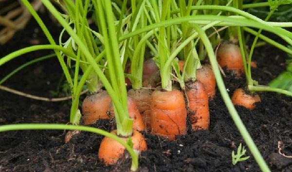 Описание вредителей и болезней моркови и методы борьбы с ними
