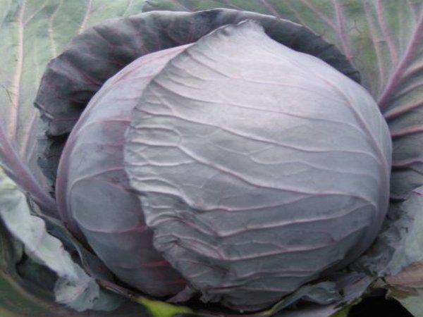 Краснокочанная капуста: выращиваем из семян и через рассаду, легко ухаживаем, собираем урожай и долго храним | огородники