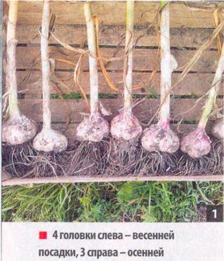 Обо всех тонкостях выращивания культуры: посадка чеснока