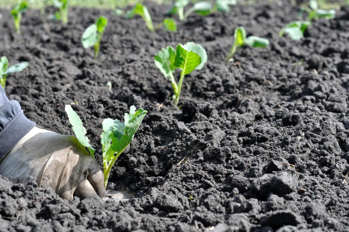 Выращивание ранней капусты в теплице из поликарбоната: когда и как сажать рассаду брокколи, цветной и пекинской капусты? русский фермер