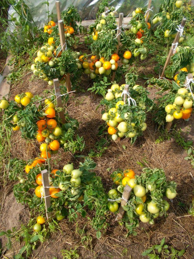 Томат монгольский карлик: описание, отзывы, фото, урожайность   tomatland.ru