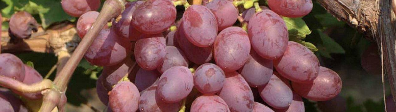 Виноград виктория: описание сорта, посадка, уход и отзывы садоводов