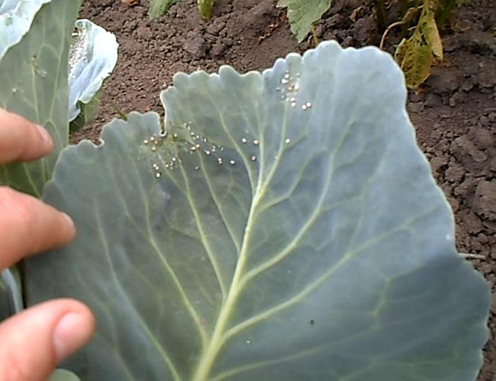 Чем обработать капусту от вредителей: лучшие народные средства
