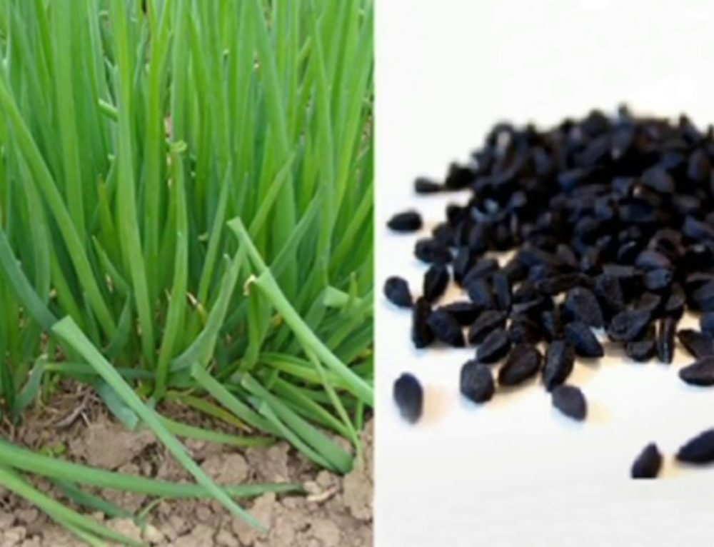 """Лучшие сорта лука для выращивания на зелень с фото и описанием - журнал """"совхозик"""""""