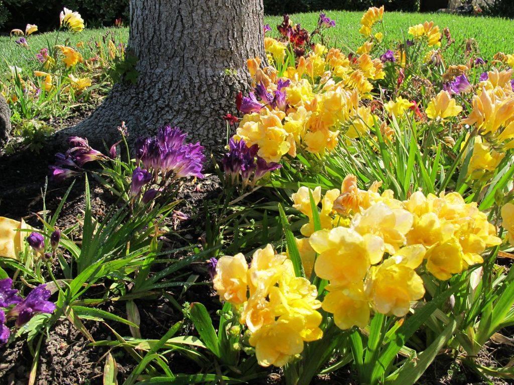 Как и когда сажать фрезии в открытый грунт весной