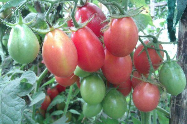 «чио-чио-сан» отзывы опытных овощеводов