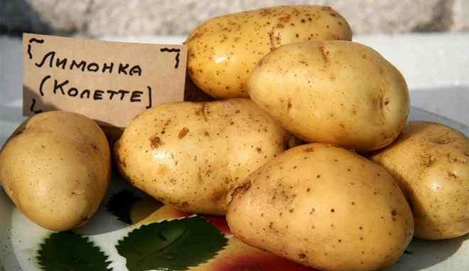 Сорт картофеля пикассо: описание и фото, характеристика, история селекционирования, особенности выращивания, уход, болезни и вредители корнеплода