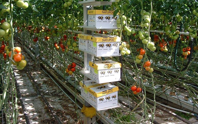 Как вырастить томаты по голландской технологии