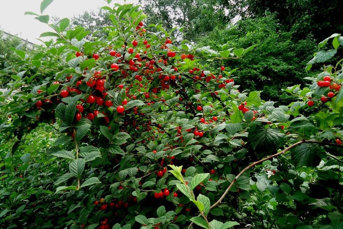 Выбираем лучшие сорта вишни для подмосковья: описание, фото, отзывы - секреты садоводов