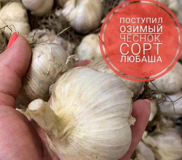 Чеснок любаша: описание сорта и его достоинства, урожайность с 1 га, правила посадки и ухода, борьба с болезнями и вредителями, а также лечебные свойства овоща русский фермер