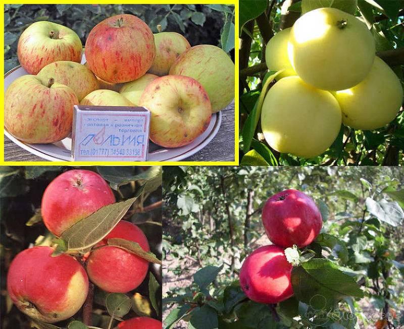 Описание и тонкости выращивания яблони сорта Коробовка