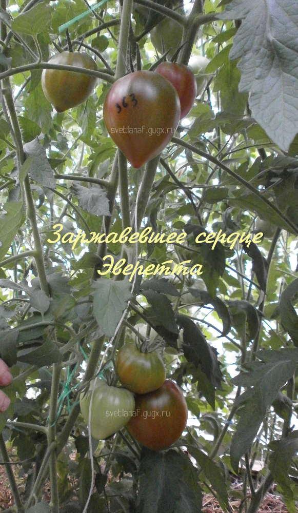 Томат оранжевое сердце: характеристика и описание сорта, выращивание и уход