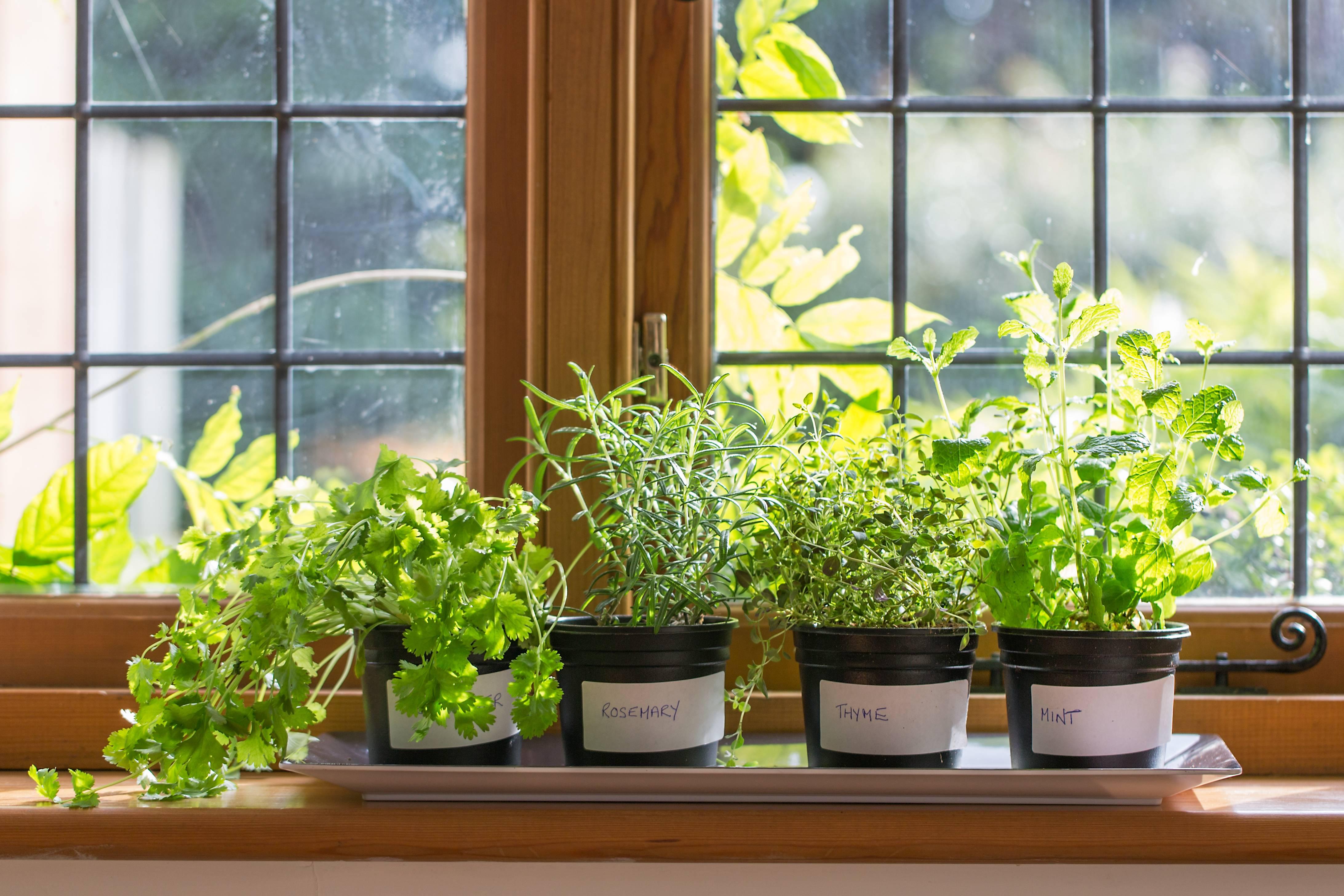 Как вырастить мяту на подоконнике в квартире