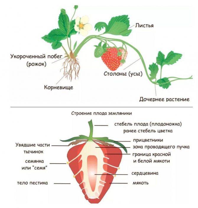 Крупная клубника: лучшие сорта для разных регионов россии