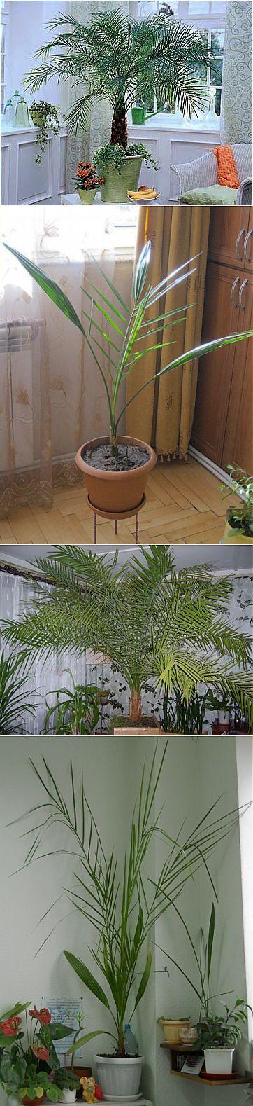Как создать тропический уголок у себя дома? особенности ухода за финиковой пальмой в домашних условиях