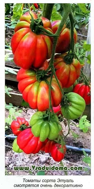 Описание сорта томата эльф f1, особенности выращивания и уход - всё про сады