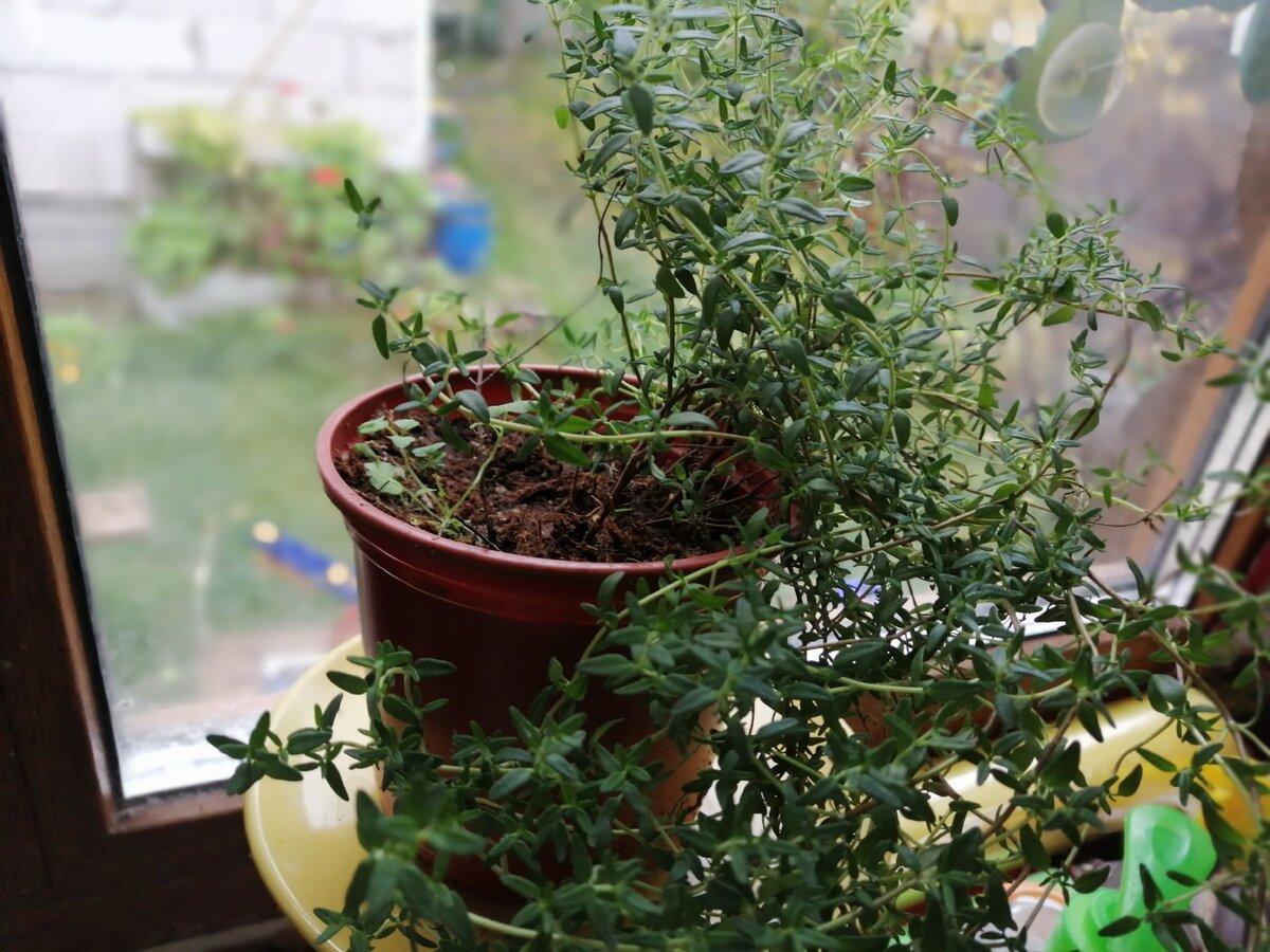 Как вырастить чабрец дома на подоконнике: посадка и уход, особенности выращивания - огород, сад, балкон - медиаплатформа миртесен