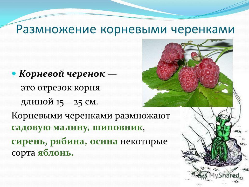 Малина. посадка, размножение, уход, сорта, фото на supersadovnik.ru