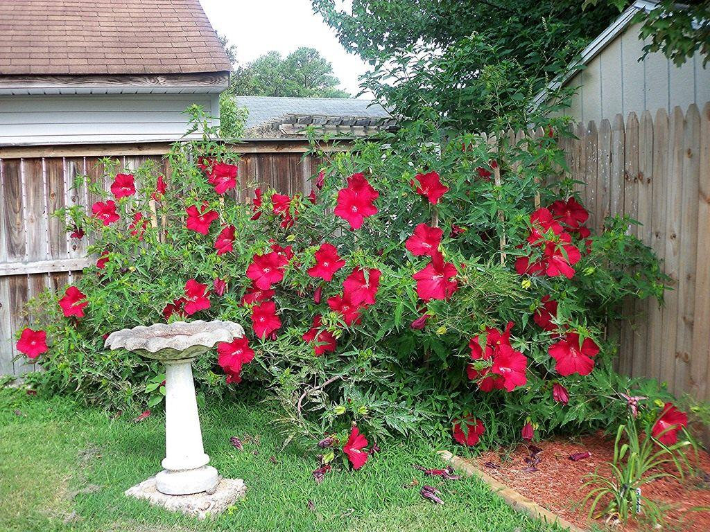 Гибискус садовый. сирийский и травянистый. посадка, выращивание, уход, размножение.
