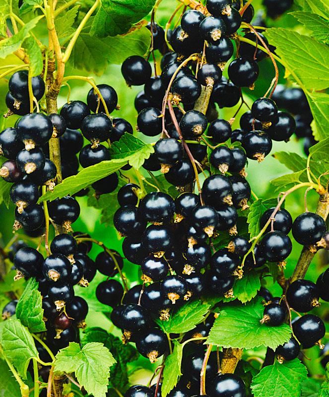 Смородина гулливер: описание сорта черной ягоды, ее особенности и характеристики, фото selo.guru — интернет портал о сельском хозяйстве