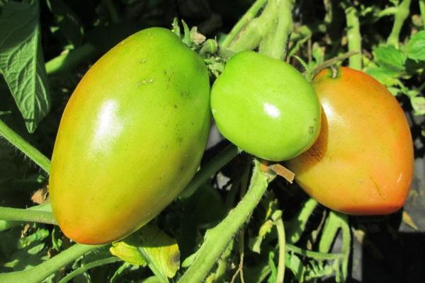 Девичьи сердечки – сорт для теплиц, описание томата и его характеристики