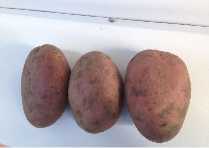 """Картофель """"лабелла"""": характеристики сорта, описание, фото картошки и советы русский фермер"""