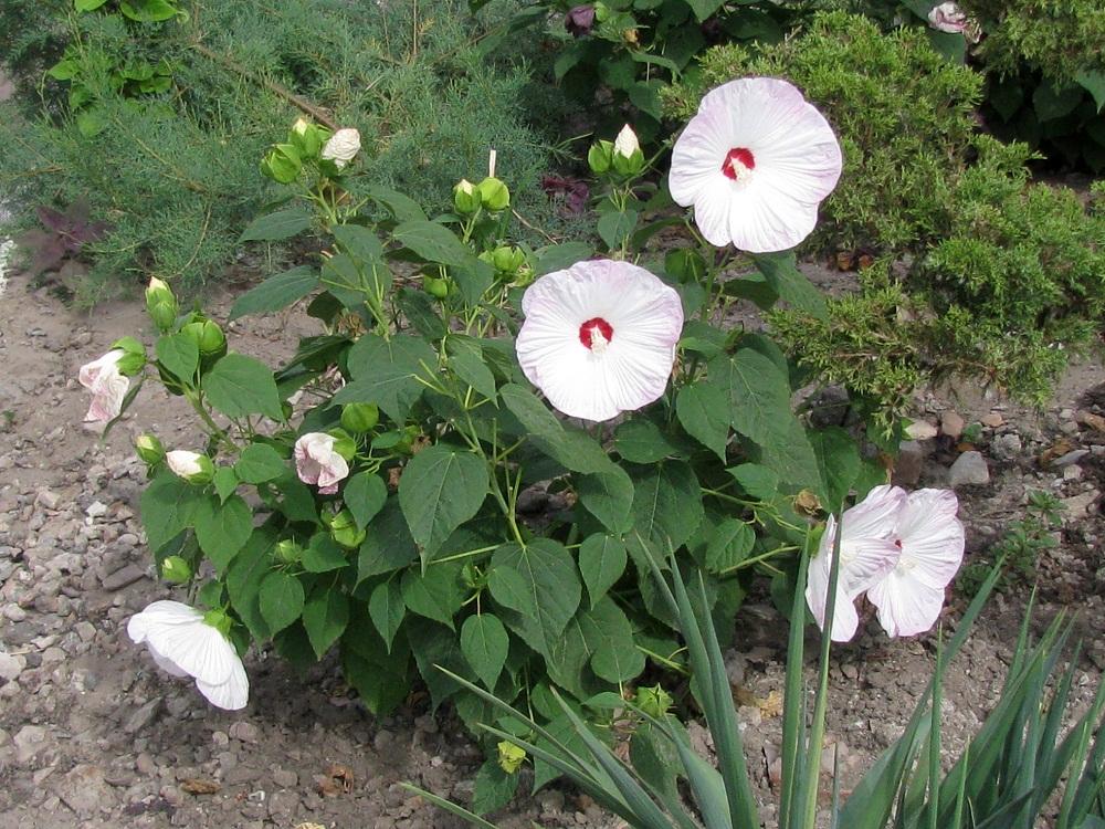 Гибискус садовый: выращивание и уход в открытом грунте