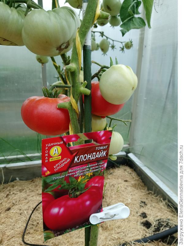 Томат клондайк оранжевый: характеристика и описание сорта, фото плодов, отзывы об урожайности помидоров