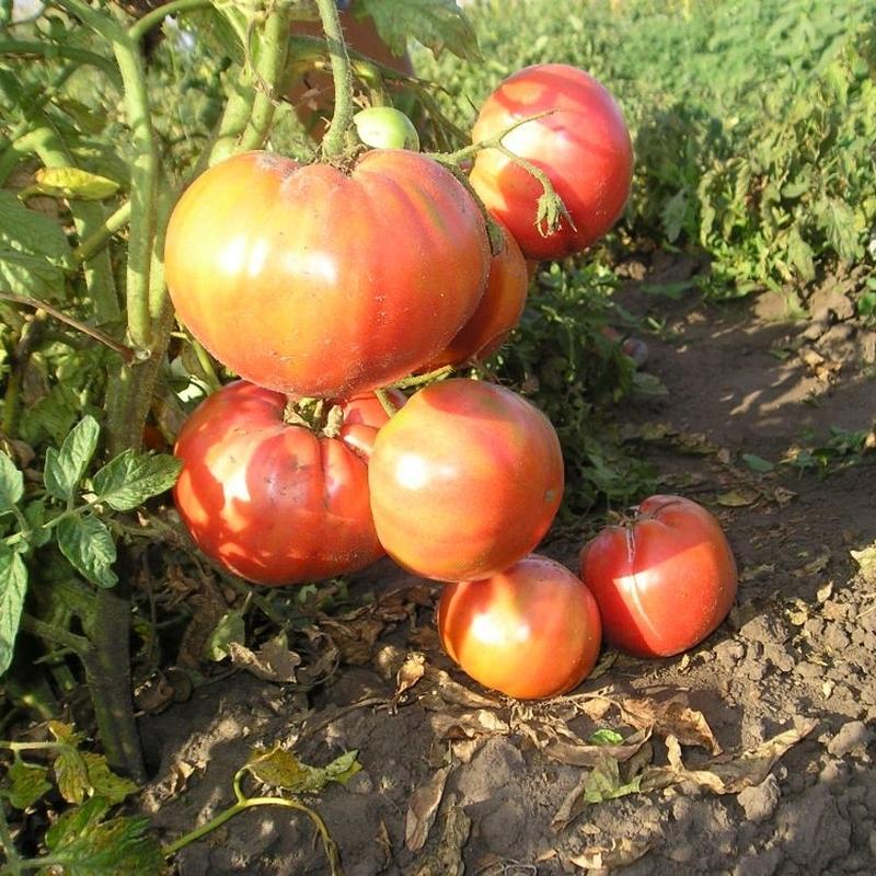 Сорт ранних томатов толстый джек: характеристика и описание, отзывы и фото огородников, особенности выращивания и урожайность сорта
