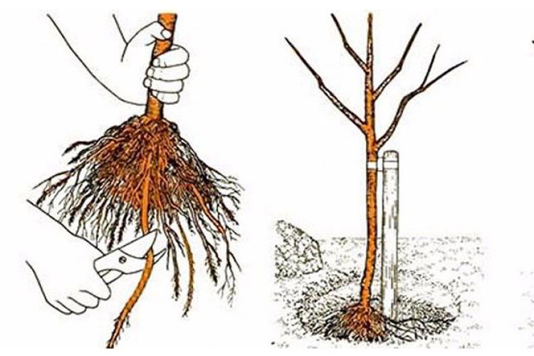 Как размножить грушу