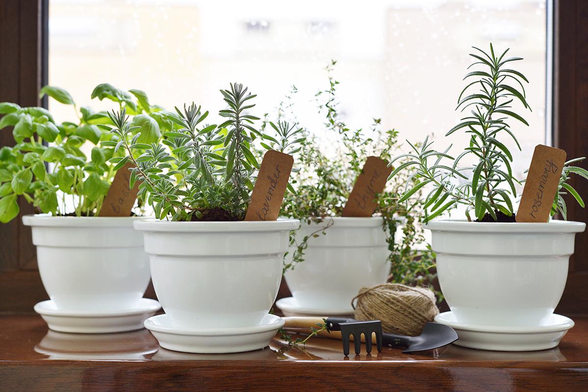Тимьян — выращивание дома в горшке