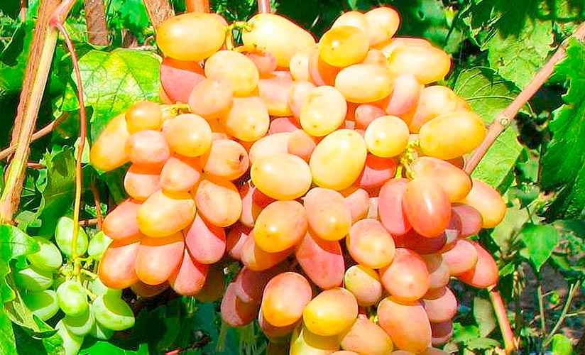 16 лучших сортов винограда для подмосковья - рейтинг 2020