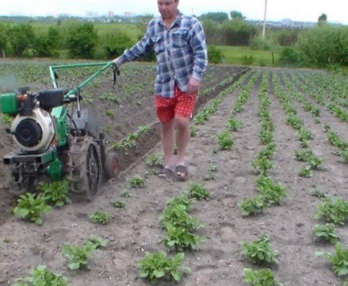 Картофель без окучивания. супер урожай! всё очень просто