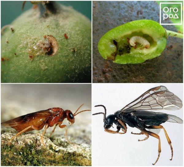 Вредители яблонь и борьба с ними