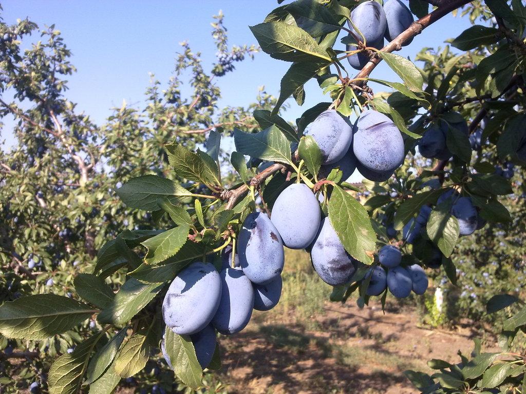 Слива венгерка: описание 14 разновидностей сорта, посадка и выращивание дерева