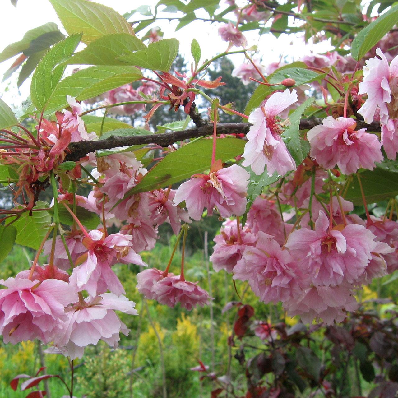 Японская вишня - выращивание, посадка и уход
