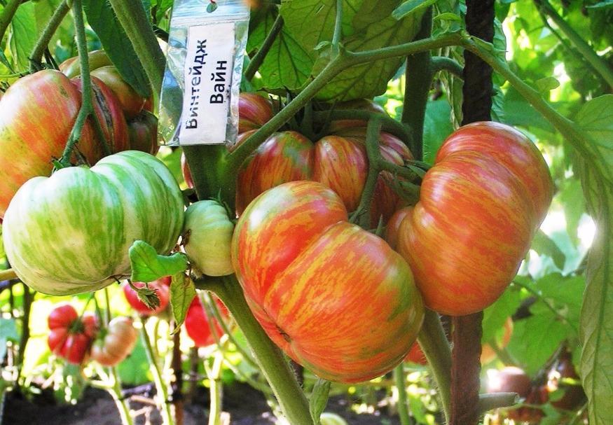 Томат гибрид тарасенко 2: описание сорта, отзывы, фото, урожайность | tomatland.ru