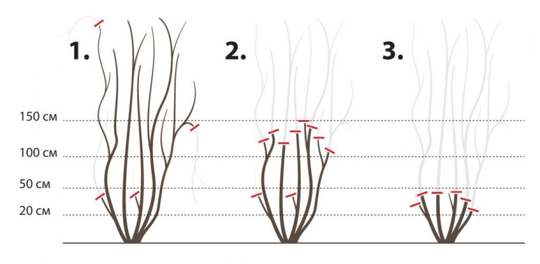 Клематисы - посадка и уход в открытом грунте для новичков
