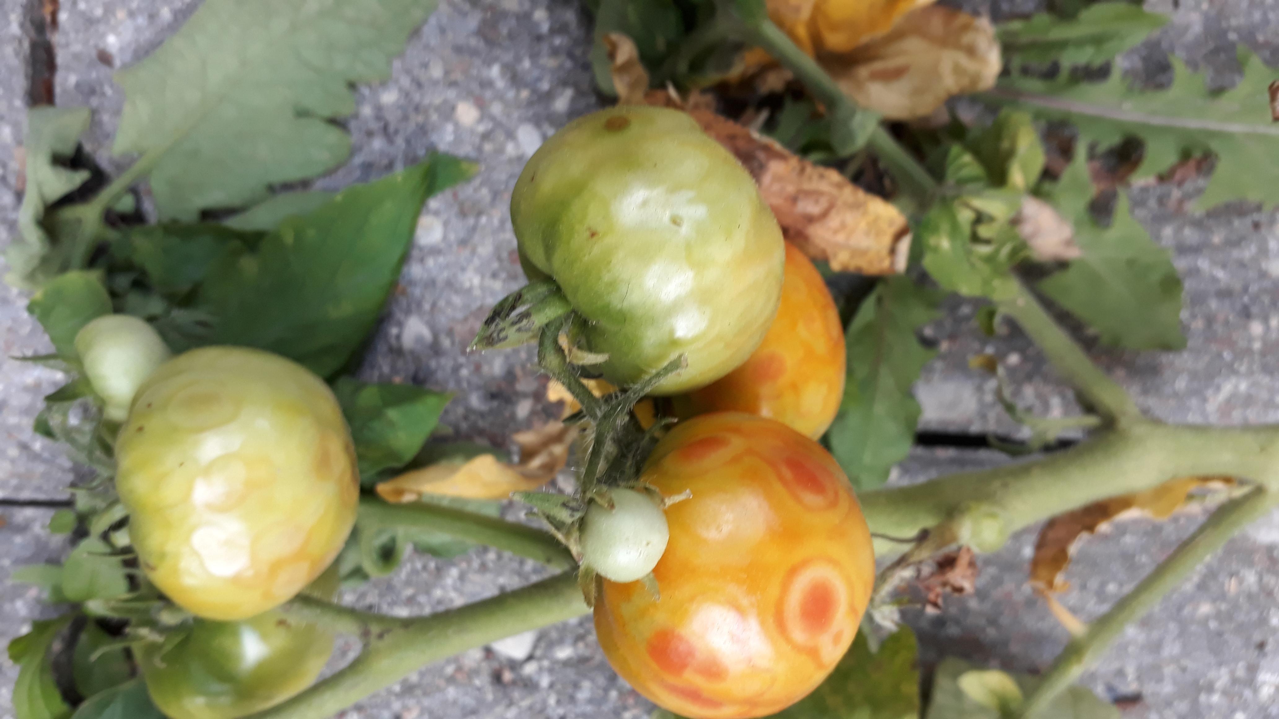 Как бороться с серой гнилью томатов, народные способы и препараты, меры профилактики в 2021 году