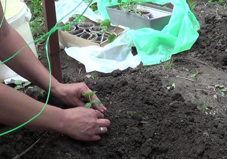 Как вырастить рассаду огурцов от а до я! в домашних условиях