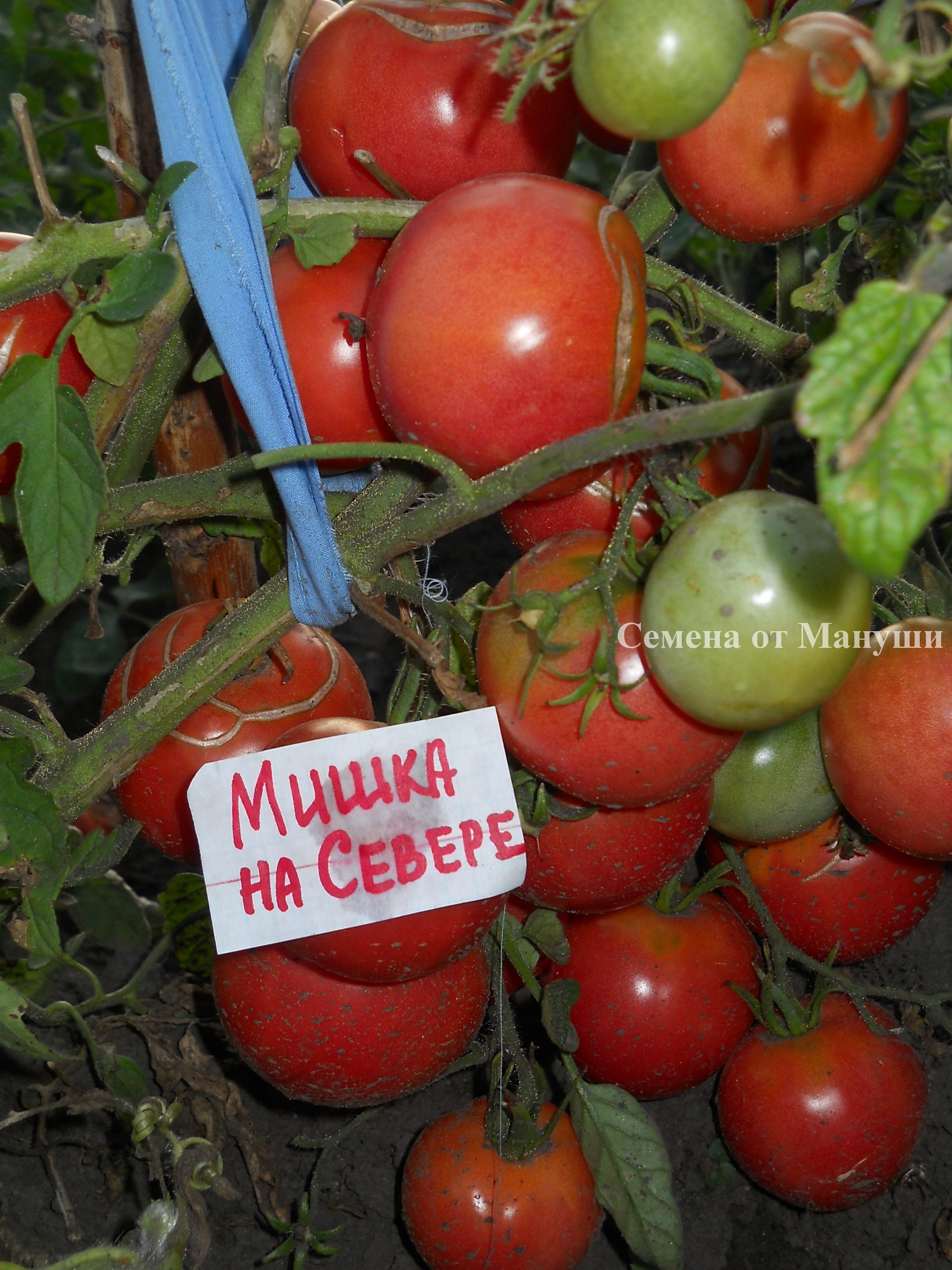 Томат полярный скороспелый: отзывы об урожайности, характеристика и описание сорта, фото куста