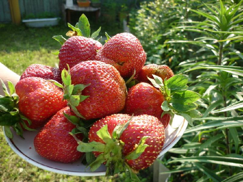 Садовая земляника азия: как вырастить итальянку в саду