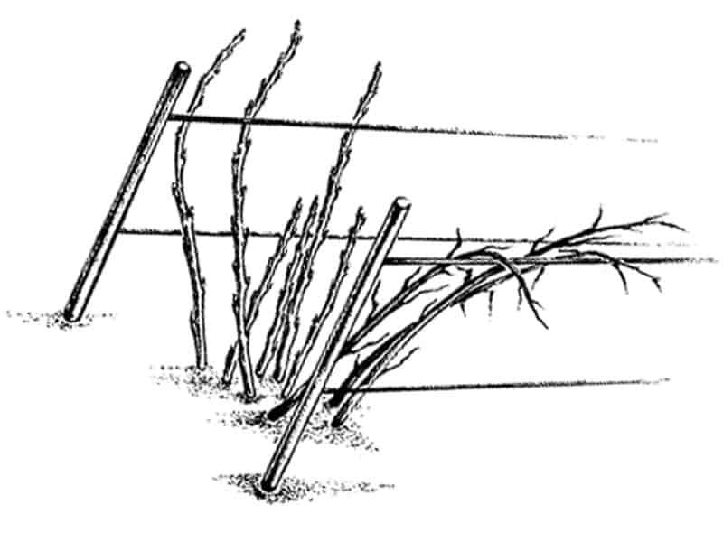 Обрезка крыжовника: когда и как делать осенью и весной, фото