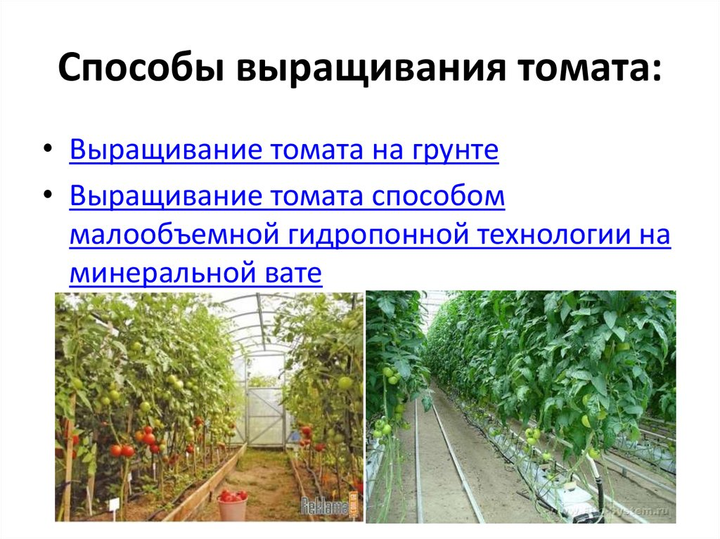 Выращивание рассады томатов по методу терехиных