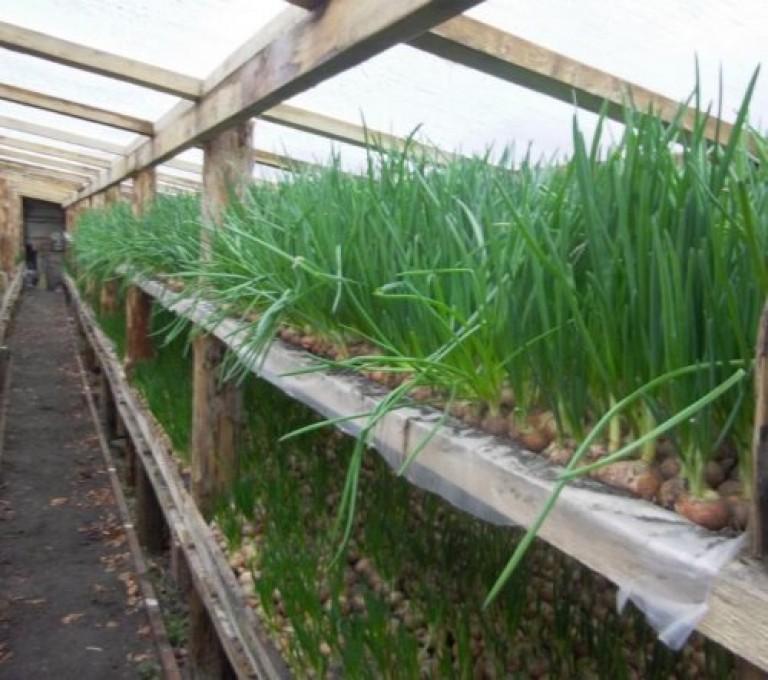 Как вырастить укроп в теплице зимой, лучшие сорта, почему болеет пряность и как их правильно сеять
