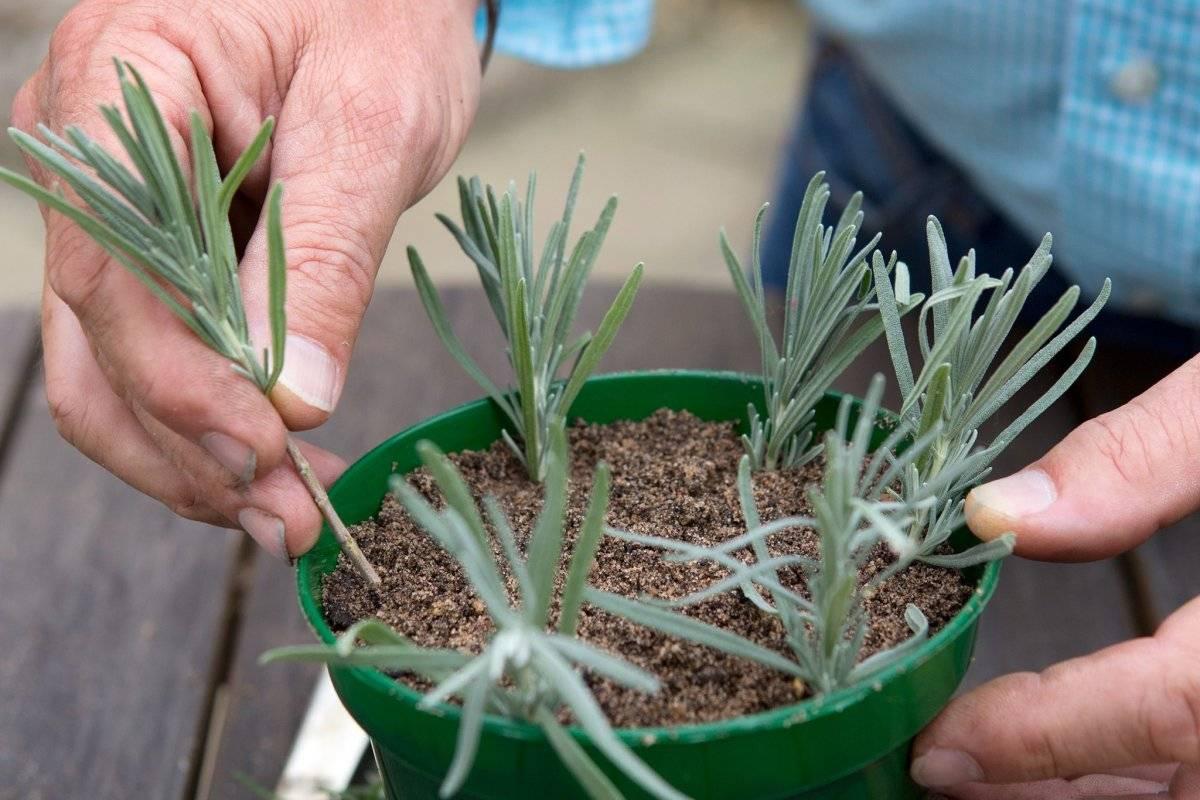 6 простых правил выращивания эстрагона на открытом грунте