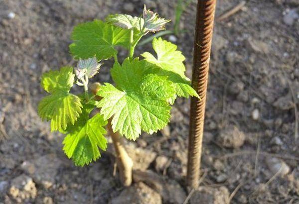 Виноград платовский: 5 советов по посадке и 4 совета по уходу