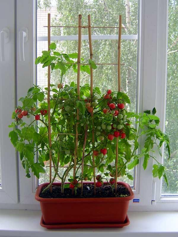 Томаты на подоконнике – сорта, выращивание и уход!