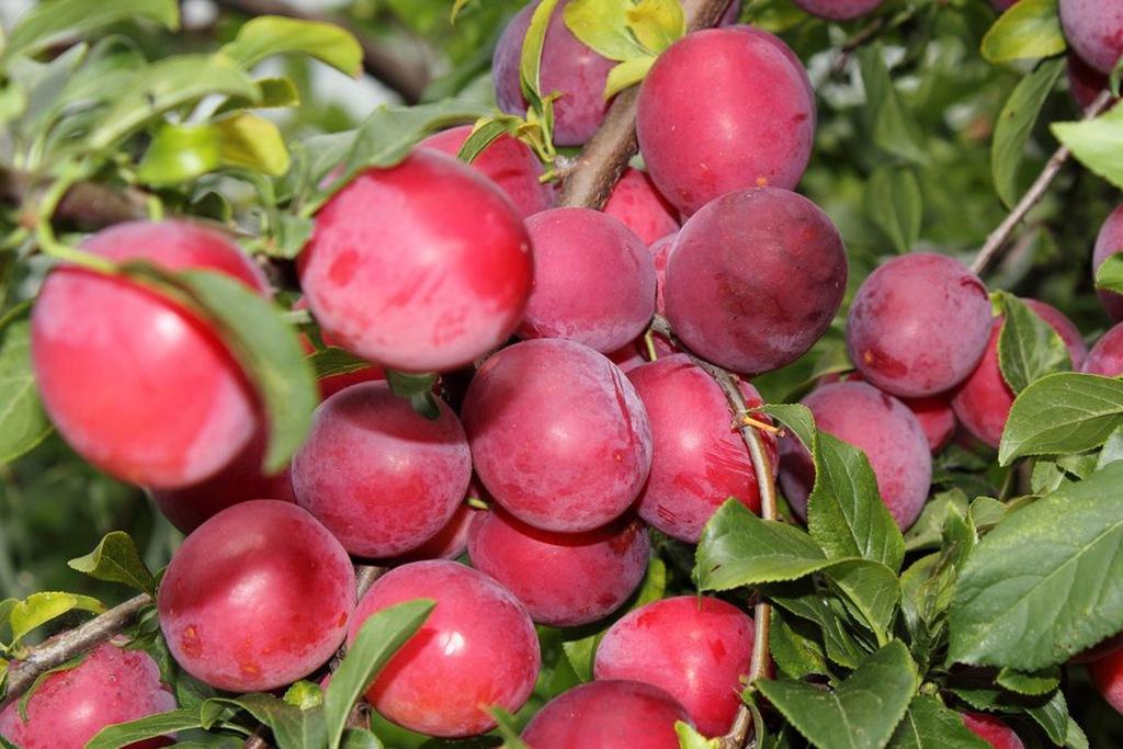 """Слива красный шар - описание сорта, фото и отзывы садовов - журнал """"совхозик"""""""