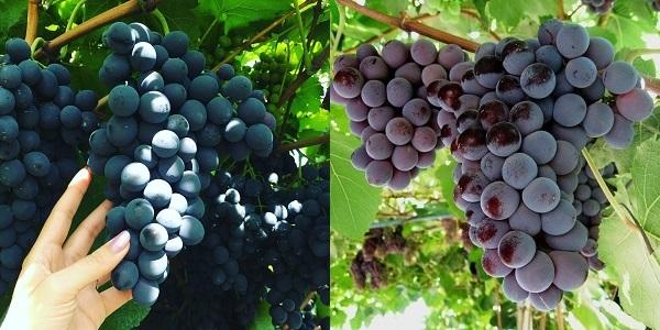 Высокоурожайный красавец из грузии — виноград ркацители
